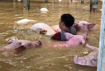 Sững sờ nhìn trại lợn gần 4.000 con bị xóa xổ vì nước lũ - ảnh 1