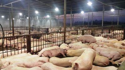 TP. Hồ Chí Minh phát hiện thêm 70 con lợn bị tiêm thuốc an thần ở lò Hòa Phú - ảnh 1