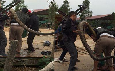 """Video: Người dân vây bắt rắn """"khủng"""" 20 kg nghi hổ mang chúa ở Vĩnh Phúc - ảnh 1"""