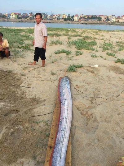 Tìm lời giải cho tin đồn cá hố rồng dạt vào bờ biển báo hiệu động đất, sóng thần - ảnh 1