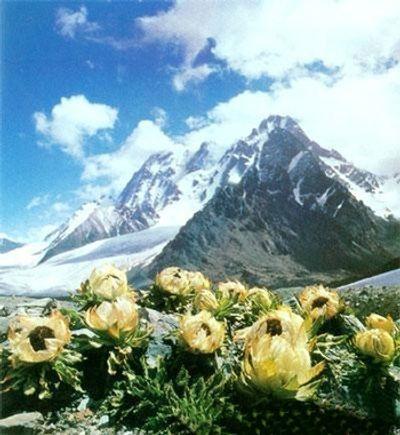 Hoa sen tuyết được rao bán 100 triệu/kg có gì đặc biệt mà nhiều người ráo riết săn lùng? - ảnh 1