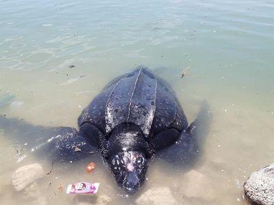 Quảng Ngãi: Rùa biển 300 kg mắc lưới ngư dân - ảnh 1