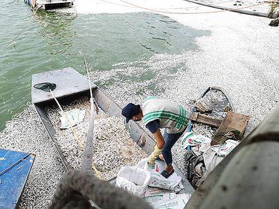 25 tấn cá chết ở Hồ Tây, cơ quan chức năng Hà Nội nói gì? - ảnh 1