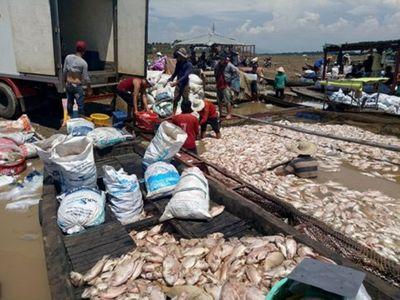 1.500 tấn cá chết trên sông La Ngà ở Đồng Nai do thiên tai - ảnh 1