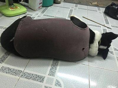 """""""Phát sốt"""" với chú chó mập 40kg nhưng lại """"mong manh dễ vỡ"""" khi bị chê béo - ảnh 1"""