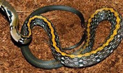 Sức khoẻ - Làm đẹp - Đang chơi ngoài sân, bị rắn sọc vàng 10cm cắn