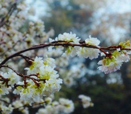 """- Chùm ảnh: Thiếu nữ Hà thành """"đọ sắc"""" cùng hoa anh đào"""