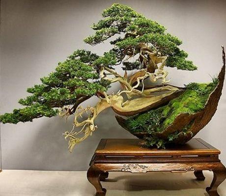 """- Những """"siêu phẩm"""" bonsai độc đáo, nhà giàu có tiền cũng khó mua"""