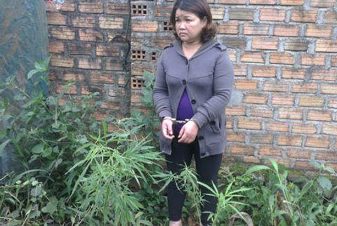 """Một """"bà trùm"""" lĩnh án vì ngang nhiên trồng cần sa trong vườn nhà - Ảnh 1"""