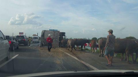 Xe khách va chạm xe tải, hàng chục con trâu náo loạn đường cao tốc - Ảnh 2