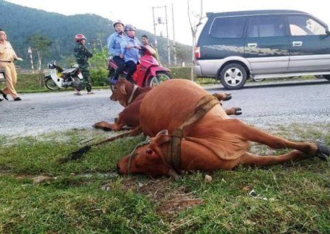 Tin trong nước - Tông chết bò đang gặm cỏ bên đường, tài xế xe tải phải đền gần 40 triệu