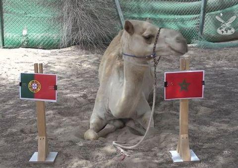 """Video: Lạc đà """"tiên tri"""" Bồ Đào Nha thất bại trước Morocco"""