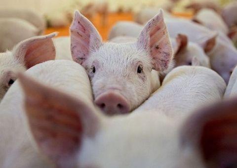 Tin tức - Nóng: Phát hiện 2 ổ dịch tả lợn châu Phi tại Việt Nam