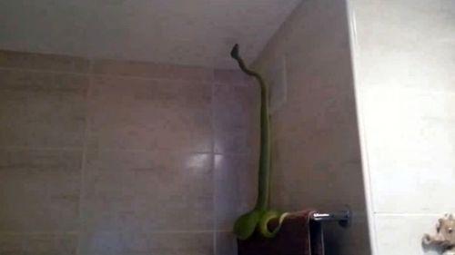 Phát hoảng thấy rắn xanh dài 2m trong phòng tắm - Ảnh 1
