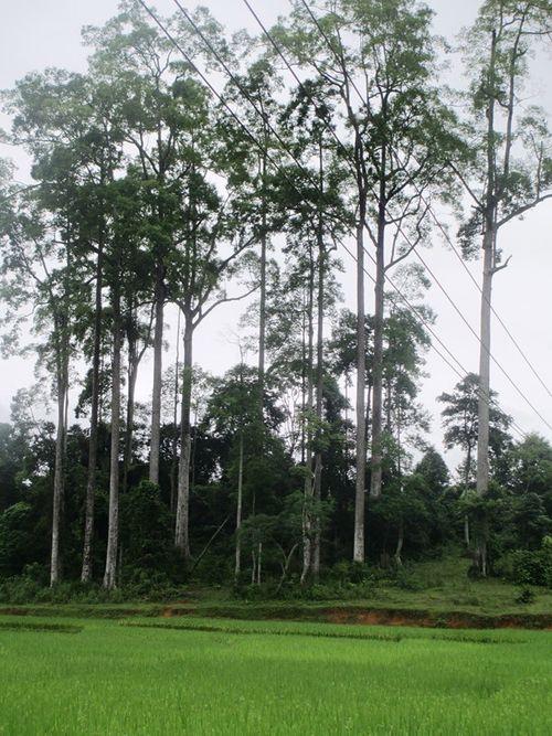 Quần thể Chò Chỉ gần 600 năm được công nhận Cây Di sản Việt Nam - Ảnh 1