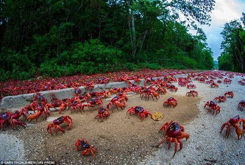 Cua đỏ thi nhau di cư ra bờ biển đào hang giao phối, sinh sản - Ảnh 1