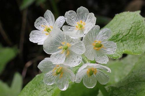 Ngắm loài hoa biến thành trong suốt khi trời mưa - Ảnh 3