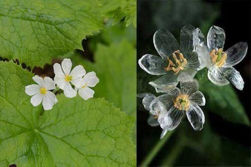 Ngắm loài hoa biến thành trong suốt khi trời mưa - Ảnh 5
