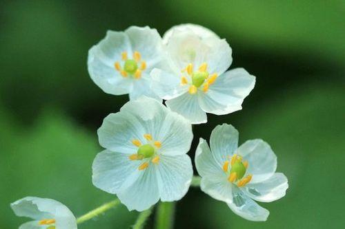Ngắm loài hoa biến thành trong suốt khi trời mưa - Ảnh 1