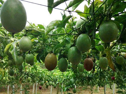 Những loại quả dân dã Việt Nam nhưng rất quý ở nước ngoài - Ảnh 3