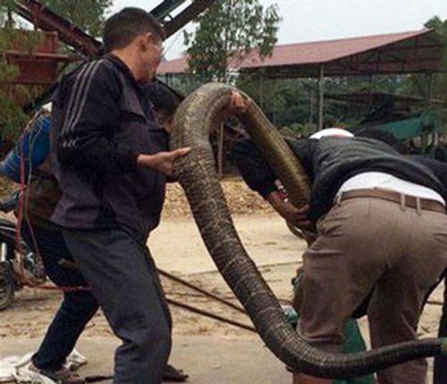 Thót tim, rắn hổ mang thở phì phì dưới gầm giường - Ảnh 1
