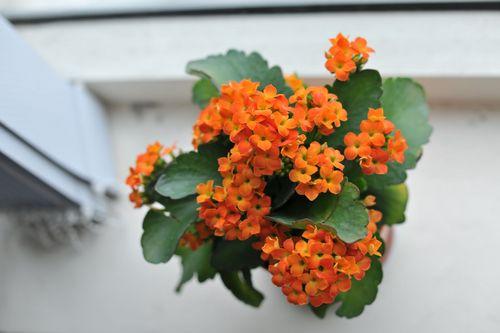 Những loại hoa mang lại may mắn cả năm - Ảnh 4