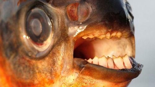 10 sinh vật đáng sợ dưới lòng sông Amazon - Ảnh 10