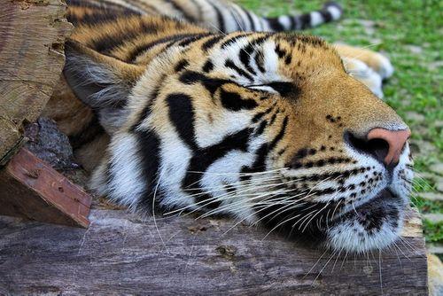 Kinh hãi người đàn ông say rượu vào vườn thú ôm… hổ - Ảnh 1