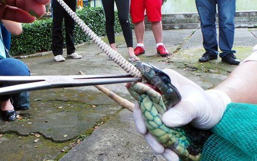 Hổ mang chúa dài 3,1 mét được đút mồi... tận miệng - Ảnh 10