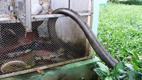 Hổ mang chúa dài 3,1 mét được đút mồi... tận miệng - Ảnh 14