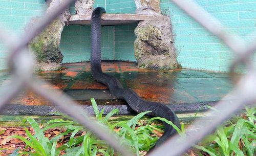 Bốn con hổ mang chúa dài hơn 3 mét thấy người là tấn công - Ảnh 12