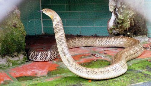 Bốn con hổ mang chúa dài hơn 3 mét thấy người là tấn công - Ảnh 8
