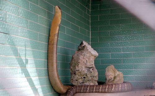 Bốn con hổ mang chúa dài hơn 3 mét thấy người là tấn công - Ảnh 9