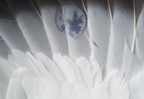 Bình Định: Bắt được chim bồ câu có ký tự lạ trên đôi cánh - Ảnh 2