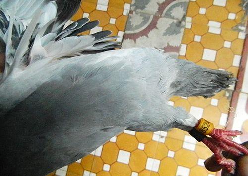Bình Định: Bắt được chim bồ câu có ký tự lạ trên đôi cánh - Ảnh 3