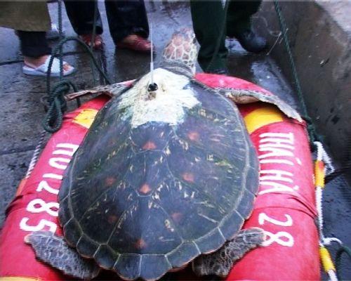 Huế: Thả rùa quý hiếm có gắn thiết bị định vị về với biển - Ảnh 1