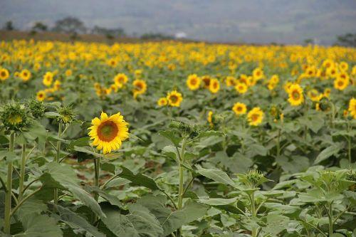 """""""Mê hoặc"""" với cánh đồng hoa hướng dương ở xứ Nghệ - Ảnh 1"""