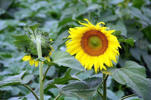 """""""Mê hoặc"""" với cánh đồng hoa hướng dương ở xứ Nghệ - Ảnh 3"""
