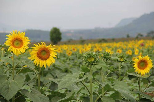 """""""Mê hoặc"""" với cánh đồng hoa hướng dương ở xứ Nghệ - Ảnh 4"""