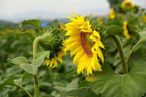 """""""Mê hoặc"""" với cánh đồng hoa hướng dương ở xứ Nghệ - Ảnh 5"""