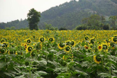 """""""Mê hoặc"""" với cánh đồng hoa hướng dương ở xứ Nghệ - Ảnh 8"""