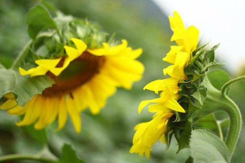 """""""Mê hoặc"""" với cánh đồng hoa hướng dương ở xứ Nghệ - Ảnh 7"""