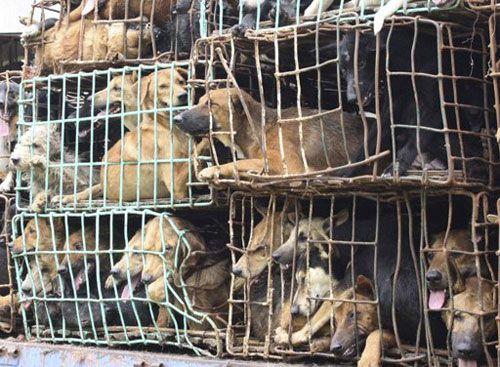 Video: Truyền hình Anh làm phóng sự về nạn trộm chó ở Việt Nam - Ảnh 1