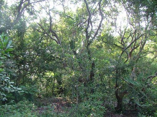Chuyện ít biết về rừng trâm bầu 500 tuổi ở Quảng Bình - Ảnh 3
