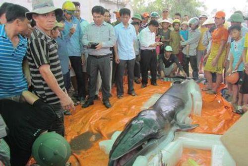Ngư dân Thanh Hóa phát hiện xác cá voi nặng 500kg trôi dạt vào bờ biển - Ảnh 1