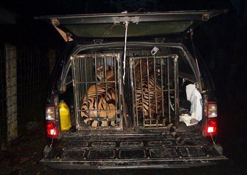 Hai con hổ gần 2 tạ bị ném xuống đường được đưa về Hà Nội - Ảnh 5