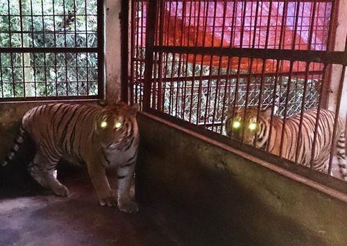 Hai con hổ gần 2 tạ bị ném xuống đường được đưa về Hà Nội - Ảnh 1