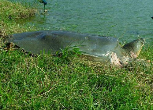 """""""Cụ"""" rùa Hồ Gươm nằm phơi mình trên bãi cỏ chân tháp rùa - Ảnh 1"""