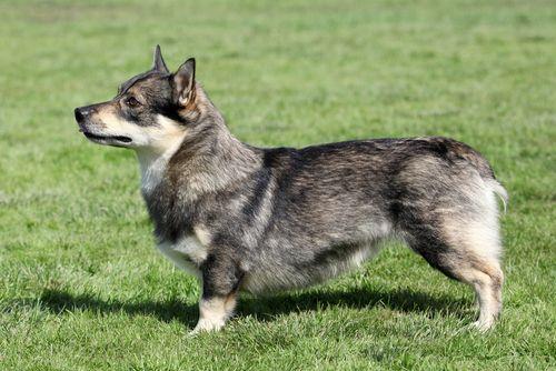 9 giống chó độc đáo mà bạn không thể bỏ qua - Ảnh 1
