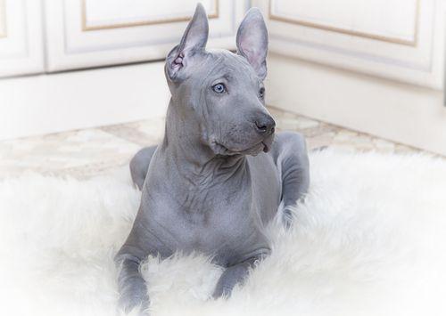 9 giống chó độc đáo mà bạn không thể bỏ qua - Ảnh 9